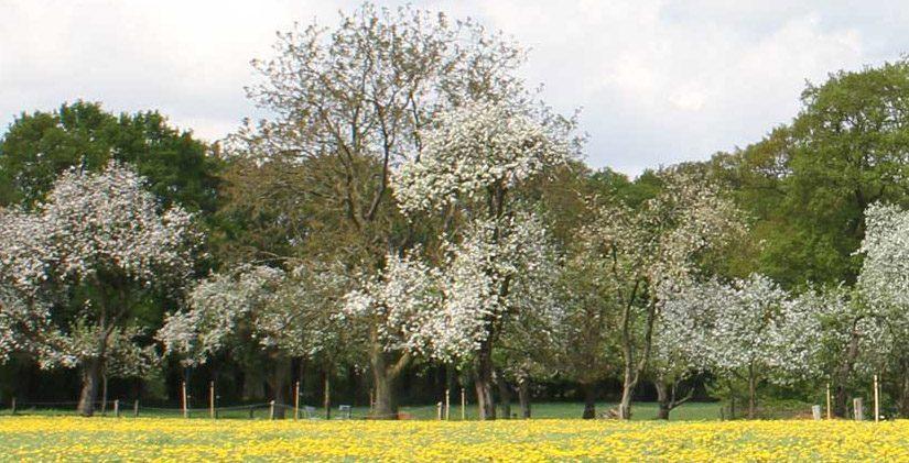 Boomgaard bij de Bakspieker & de oude Kersenboom